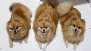 ???? Mini Pomeranian - Funny and Cute Pomeranian Videos - SparkPetLovers