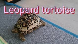 Leopard tottois  레오파드 육지거북