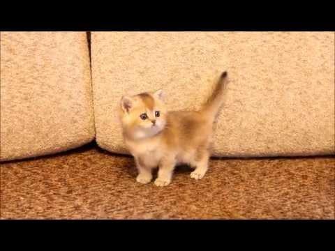 Котенок британский окраса золотая шиншилла. Питомник Greycat www.grey-cats.ru 8(926)993-70-25