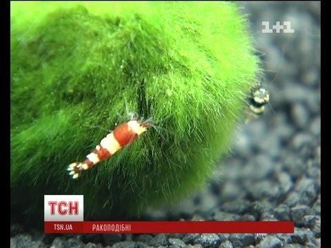 В Киеве открылась выставка декоративных креветок