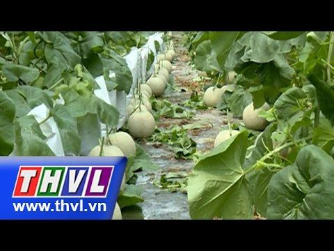 THVL l Khoa học nông nghiệp: Kỹ thuật trồng dưa lê, dưa lưới trong nhà lưới (11/01/2016)