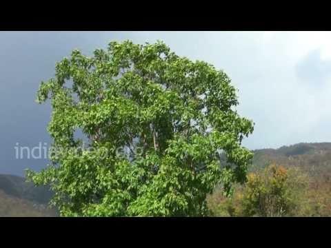Walnut tree  in Didna village