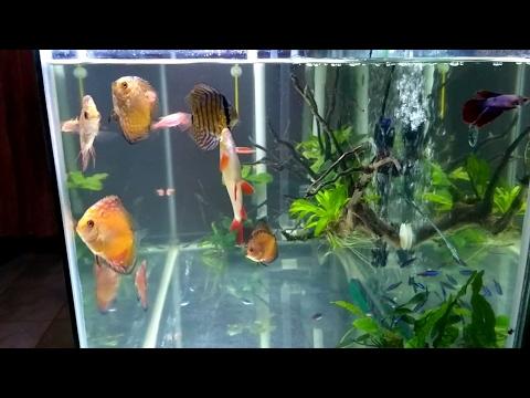 Nyoba Ikan Cupang Untuk Tankmate Ikan Discus Youtube