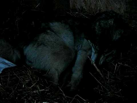 Wolf Giving Birth To 8 Puppies Cubs Babies 1 Youtube