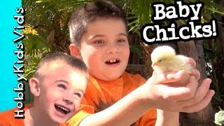 Video BABY CHICKS! HobbyKids Play + Fun With NEW Baby Chicks in Yard HobbyKidsVids download MP3, 3GP, MP4, WEBM, AVI, FLV Desember 2017