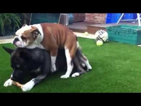 Bulldog Pup Plays With X Husky Staffy Youtube