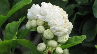 Most Beautiful Jasmine Flower..