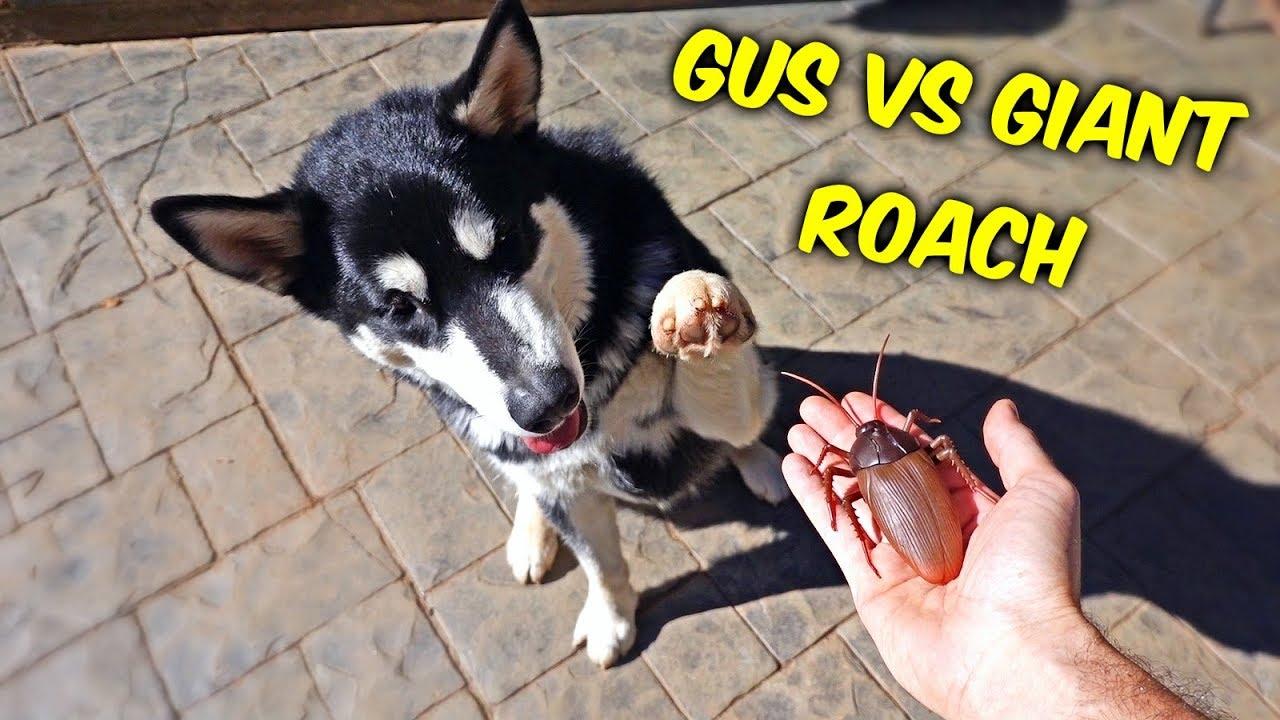 Malamute Puppy vs Giant Roach - Funny Dog Gus