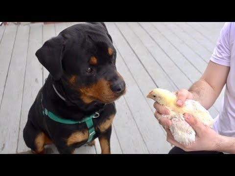 Rottweiler tries to eat a baby chicken! |44