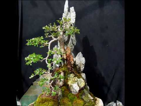 cotoneaster on rock_0001.wmv