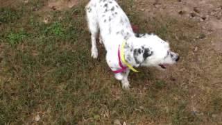 Dalmatian Terrier Mix
