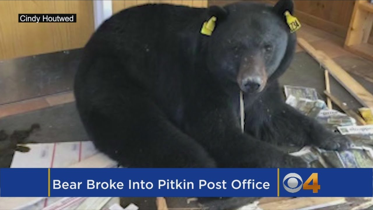 Bear Enters Post Office In Mountain Town, Makes A Mess