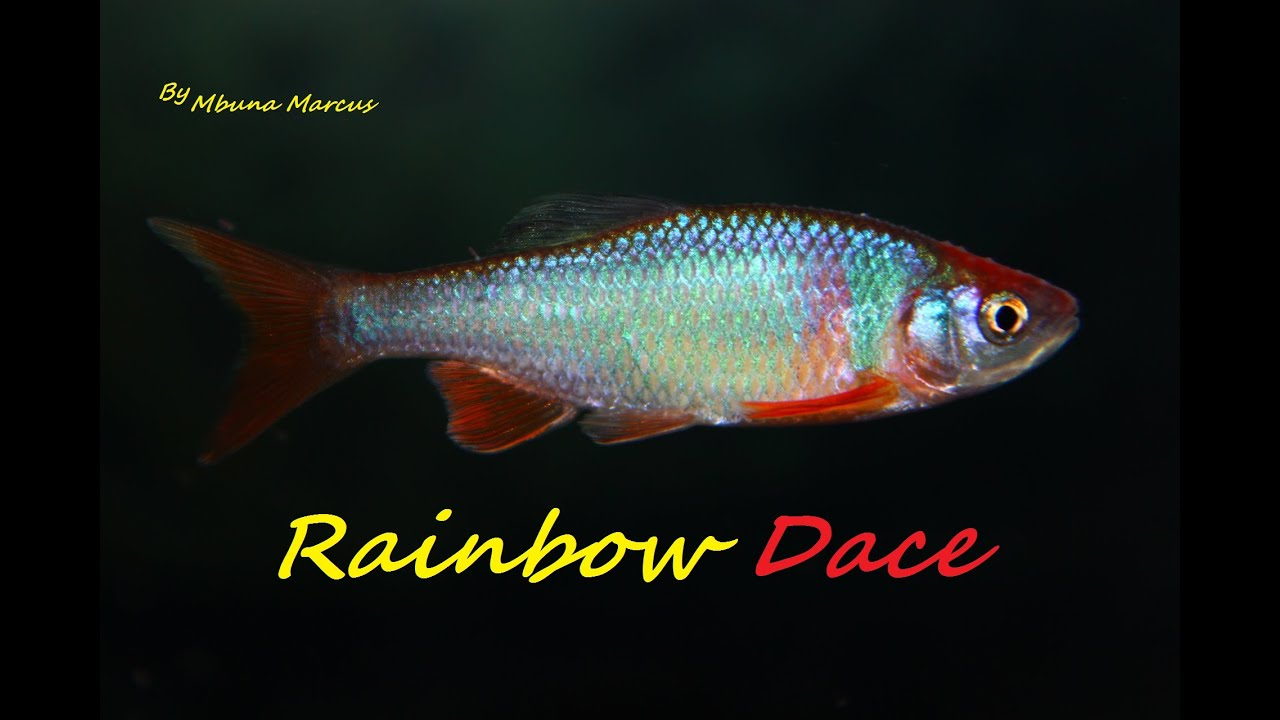 Freshwater fish dace - The Rainbow Fish