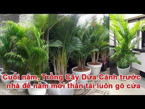 Cuối năm, Trồng Cây Dừa Cảnh trước nhà để năm mới thần tài luôn gõ cửa