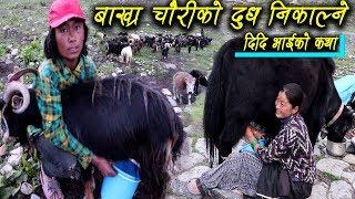 चौरी,बाख्रा,झोपाको दुध निकाल्ने दिदि भाईको कथा || नेपाल भित्रको विदेश || Pemba & Thupten- Dolpa