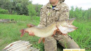 Ловля щуки на реке Тавда в начале августа (начинают попадаться первые крупные особи)