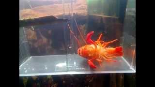 Procambarus clarkii  линька красный флоридский рак