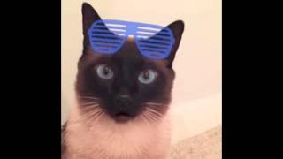 Агрессивны ли сиамские коты & кошки ? ^.^