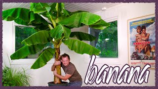 How To Grow Large Banana Indoors!