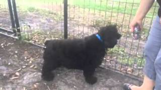 Meet Shadow A Spaniel American Cocker Currently Available For Adoption At Petango.com! 4/14/2015 5:
