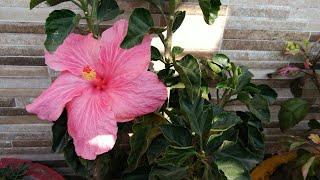 एक काम करें गुड़हल में और पाए ढेर सारे फूल ही फूल,anvesha,s creativity