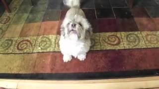 Уморительная собака, чей лай похож на истошный крик человека