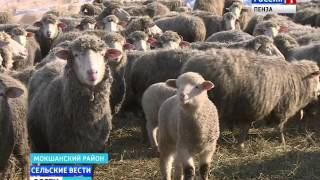 В Пензенской области начали возрождать цигайскую породу овец