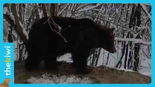 The story of Ina, the bear who lives trapped in her virtual cage