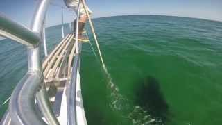 Atlantic White Shark Research: Report from the Field #2