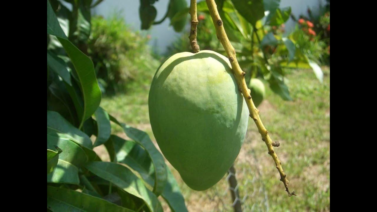 Tipos de mango: Mango verde