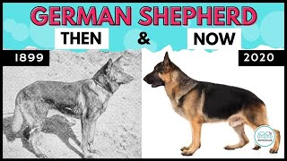 All you need to know about German Shepherd dogs History, Transformation, breeding and types.