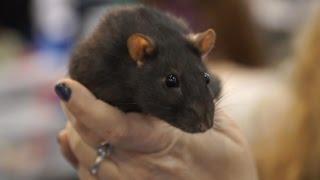 «Усатые Звезды» XV – выставка декоративных крыс и других домашних животных