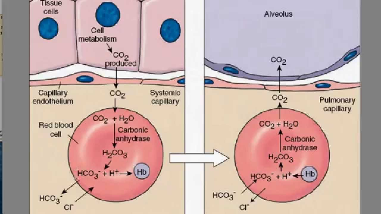 Carbon dioxide transport youtube carbon dioxide transport nvjuhfo Images