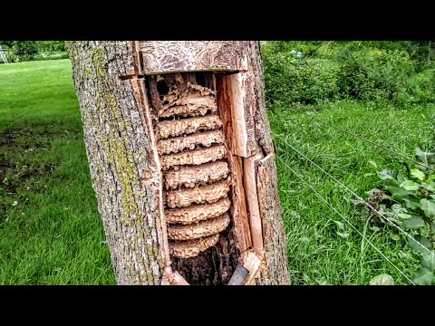 European Hornets Wasps Massive swarm Removal Inside tree