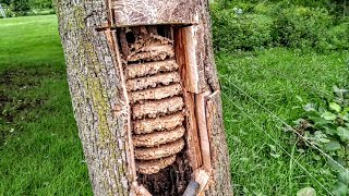 European Hornets Wasps Massive swarm Removal Inside tree thumbnail