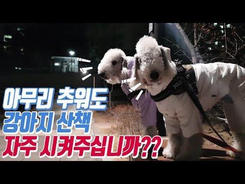 강아지 산책 자주 시켜주십니까??/pet dog Bedlington Terrier puppy
