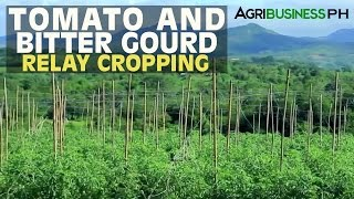 Vegetable Farming : Tomato and Bitter Gourd Relay Cropping | Agribusiness Philippines