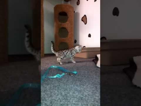 (Cheetoh cat) Little Silvia