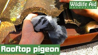 Starving bird rescued from INSIDE a roof!