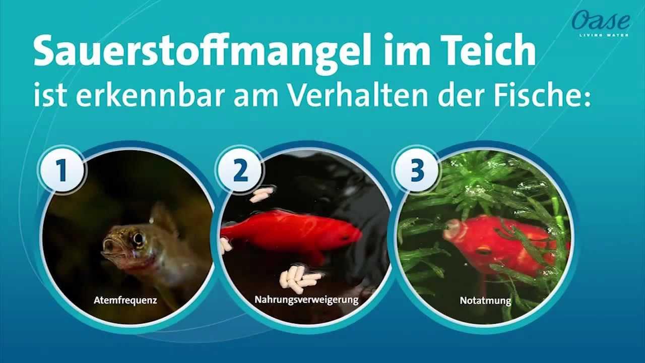 Sauerstoffmangel im teich bei diesen 3 verhaltensweisen for Was fressen fische im teich