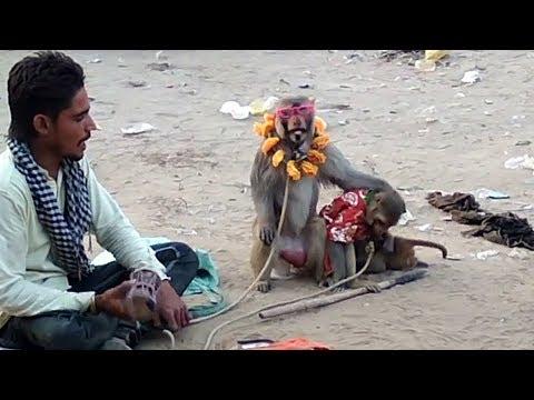 Chalbaaj bandar Bandariya Ka Khel - Monkey Got Talent