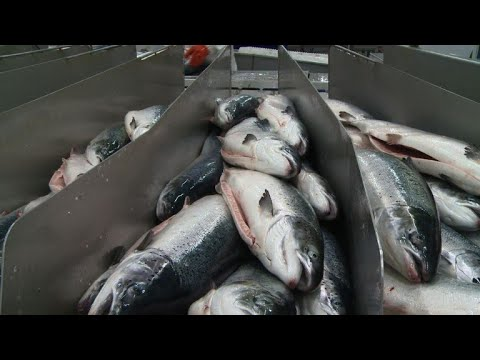 Russia: Fishing Beyond The Arctic Circle
