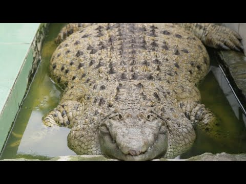 200kg Crocodile Lives With Indonesian Family