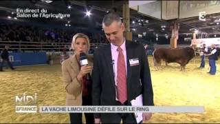 ANIMAUX : La vache Limousine défile sur le ring