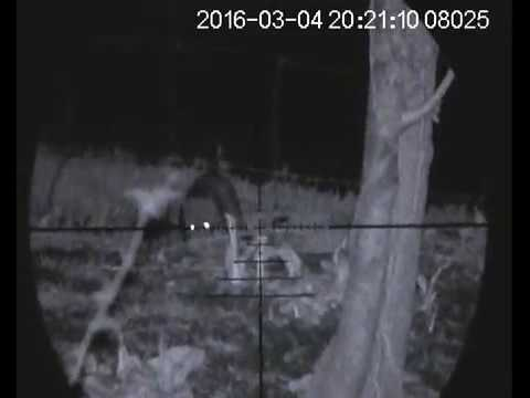 Rat Shooting with Air Rifle - Pest Control - Night Vision