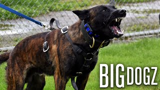 Meet Ozzy - The Fierce Dutch Shepherd Trained In Jiu Jitsu | BIG DOGZ