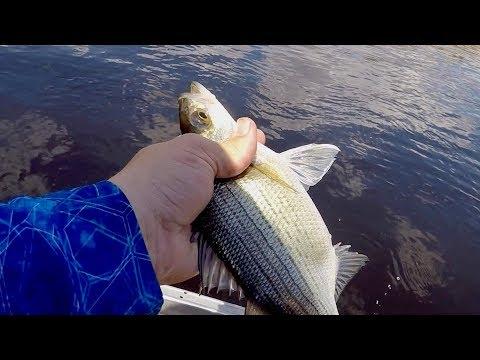 Wolf River White Bass Fishing! (Spring River Fishing!)