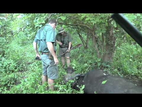 TWSA_2011_Episode 03_Zambezi Buffalo