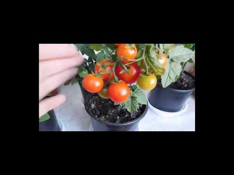 ������ТОМАТЫ КОМНАТНЫЕ! ВЫРАЩИВАНИЕ ОТ СЕМЯН ДО ПЛОДОВ! How to grow indoor tomatoes