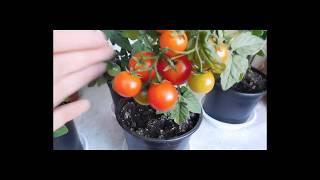 🍅🍅🍅ТОМАТЫ КОМНАТНЫЕ ! ВЫРАЩИВАНИЕ ОТ СЕМЯН ДО ПЛОДОВ ! How to grow indoor tomatoes